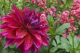 Oregon  Portland Babylon Purple Dahlia and Pink Phlox with Droplets