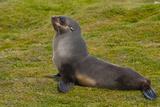 South Georgia. Salisbury Plain. Antarctic Fur Seal Papier Photo par Inger Hogstrom