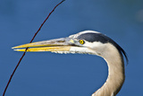 Florida  Venice  Great Blue Heron Holding Nest Material in Beak