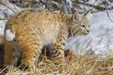 USA  Wyoming  Bobcat Feeding on Mule Deer Carcass