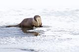 Wyoming, National Elk Refuge, Northern River Otter Eating Fish Papier Photo par Elizabeth Boehm
