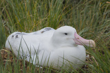 South Georgia Prion Island Wandering Albatross on its Nest in Snow