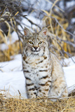 USA  Wyoming  Portrait of Bobcat Sitting