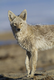 Wyoming  Sublette County  Coyote Walking Along Beach
