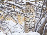 USA  Wyoming  Bobcat Sitting in Snow Covered Branches