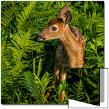 Minnesota  Sandstone  Close Up of White Tailed Deer Fawn in the Ferns