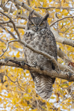 Wyoming  Great Horned Owl Roosting in Cottonwood