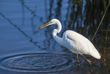 Lake Murray  San Diego  California Great Egret with Crayfish Catch