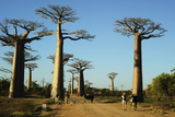 Madagascar  Morondava  Baobab Alley  Tourist Taking Pictures