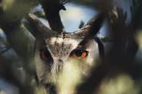 Botswana  Spotted Eagle Owl  Bubo Africanus  Close Up