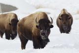 Bison Bulls  Winter