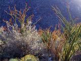 California  Anza Borrego Desert Sp  Backlit Ocotillos and Brittlebush
