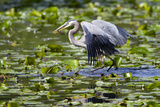 Wa  Juanita Bay Wetland  Great Blue Heron  Ardea Herodias  with Fish