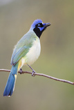 Starr County  Texas Green Jay Threat Display to Other Jays