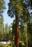 California  Sequoia  Kings Canyon National Park  Grant Grove  Giant Sequoia Trees