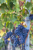 Grapes Ready for Harvest on the Tuscan Hills