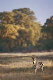 Zimbabwe  View of Burchells Zebra Linkwasha in Hwange National Park