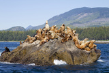 Canada  Pacific Rim National Park Reserve  West Coast Trail  Steller Sea Lions