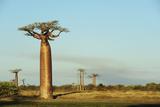 Madagascar  Morondava  Baobab Alley  View on Adansonia Grandidieri