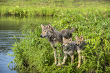 Minnesota  Sandstone  Minnesota Wildlife Connection Grey Wolf and Pup
