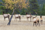 Coyote and Herd of Elk