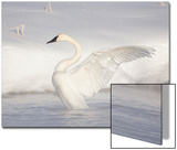 USA  Wyoming  Trumpeter Swan Stretches Wings on a Cold Winter Morning