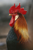 Farmyard Domestic Rooster  Close Up