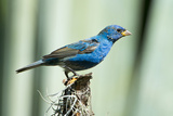 North America  USA  Florida  Immokalee  Indigo Bunting Perched on Snag