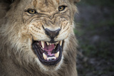 Male Lion Growling  Close Up