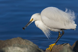 Lake Murray  San Diego  California Shoreside Snowy Egret with Catch