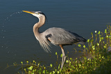 Florida  Venice  Great Blue Heron Drinking Water Streaming from Bill