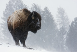 Bison Bull  Winter Storm
