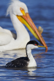 Western Grebe and American White Pelican