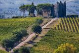 Vineyards Draping Hillsides Near Monte Falco