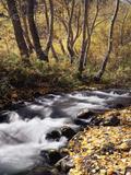California  Sierra Nevada  Inyo Nf  Cottonwood Trees Along Mcgee Creek