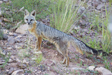 Jeff Davis County  Texas Gray Fox Standing in Grass