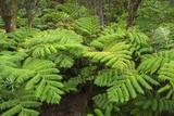 Forest of Tree Ferns  Cibotium Glaucum  Volcano  Hawaii