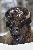 Bison Bull  Winter
