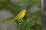 Minnesota  Mendota Heights  Nashville Warbler Perched on a Branch