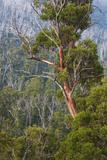 Australia  Kosciuszko National Park  Thredbo  Landscape with Trees