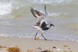 South Padre Island  Texas Black Bellied Plover with Meal
