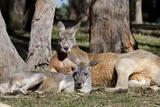 Australia  Adelaide Cleland Wildlife Park Red Kangaroos