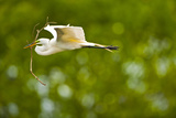 Florida  Venice  Audubon Sanctuary  Common Egret with Nesting Material