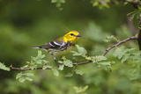 South Padre Island  Texas Black Throated Green Warbler Feeding