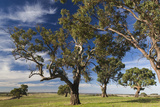 Australia  Barossa Valley  Mount Pleasant  Gum Trees