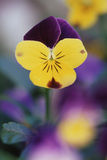 USA  Utah  Close Up of Viola Tricolor in Garden