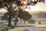 Australia  Clare Valley  Clare  Gum Trees by Brooks Lookout  Dawn