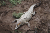 Costa Rica  American Crocodile Resting on Bank of Tarcoles River