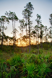 Sunrise in Long Pine Area of Everglades National Park