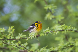 South Padre Island  Texas Blackburnian Warbler Feeding
